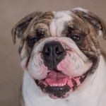sindrome braquiocefálico bulldog