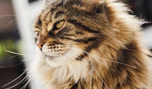 enfermedades del gato persa