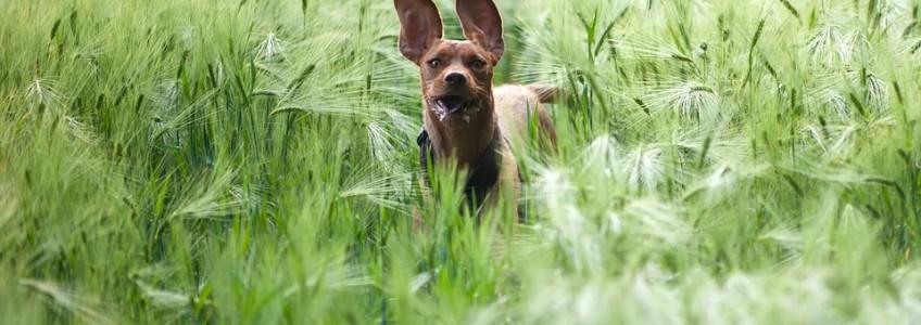 tratamientos para espigas en los perros