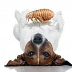 prevención de pulgas en perros