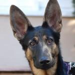 cuidado de las orejas del perro