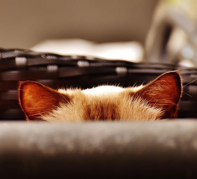 limpiar las orejas gato