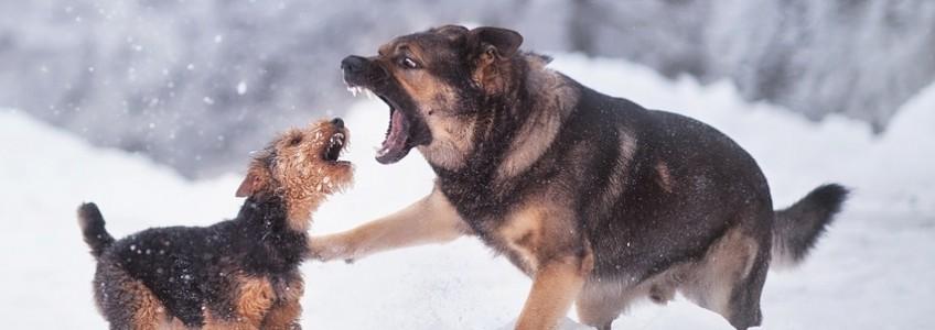 contagio en perros vacunados