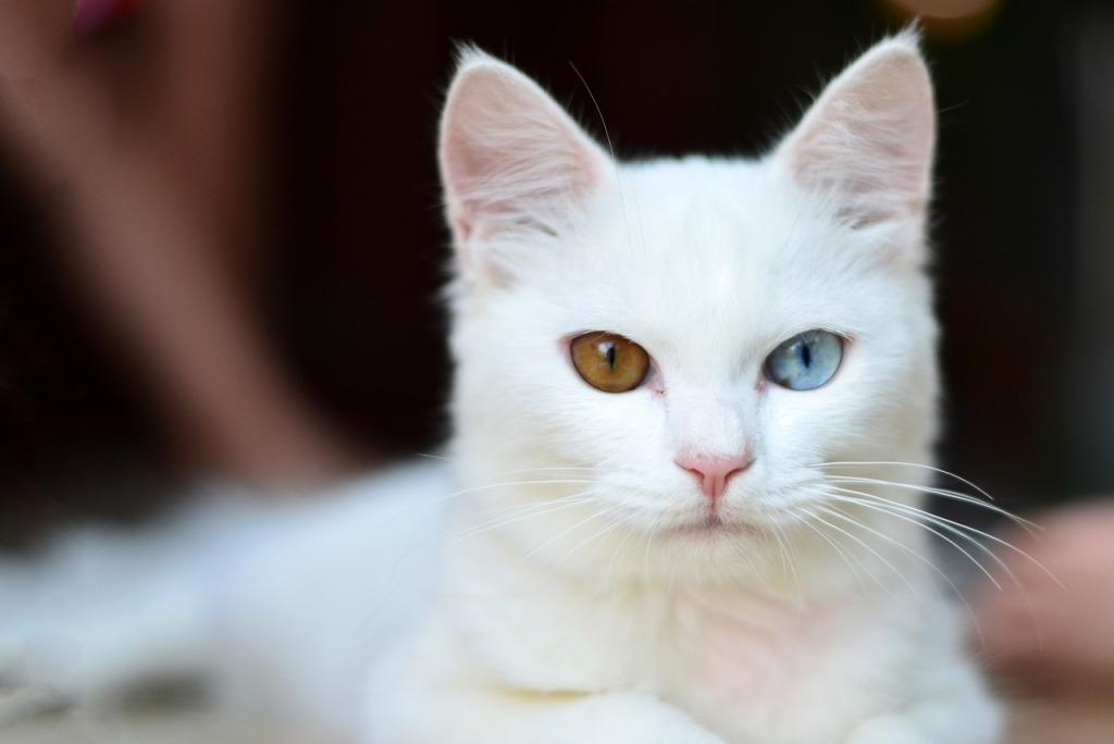 gato blanco con ojo azul que puede ser sordo de ese oido