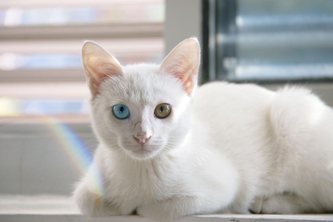 gato blanco con un ojo azul que puede ser sordo