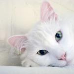gato blanco que no es sordo