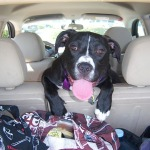 perro en viaje en coche