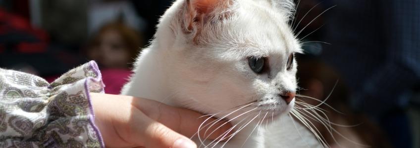 gato blanco mas susceptible de padecer cancer por la accion del sol