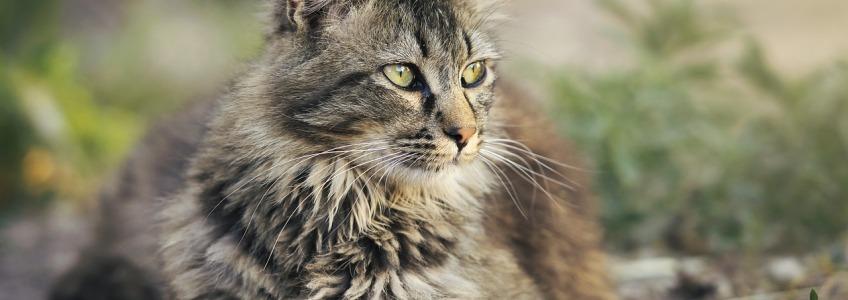 insuficiencia renal en el gato de edad avanzada