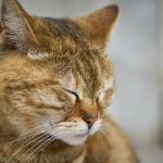 aspirina en gatos