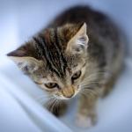 control del celo en gatas