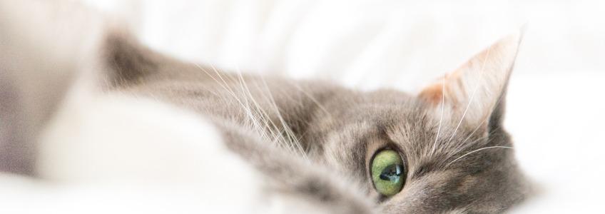 raza gato comun europeo