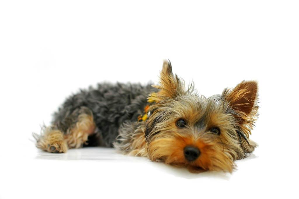 yorkshire terrier la raza