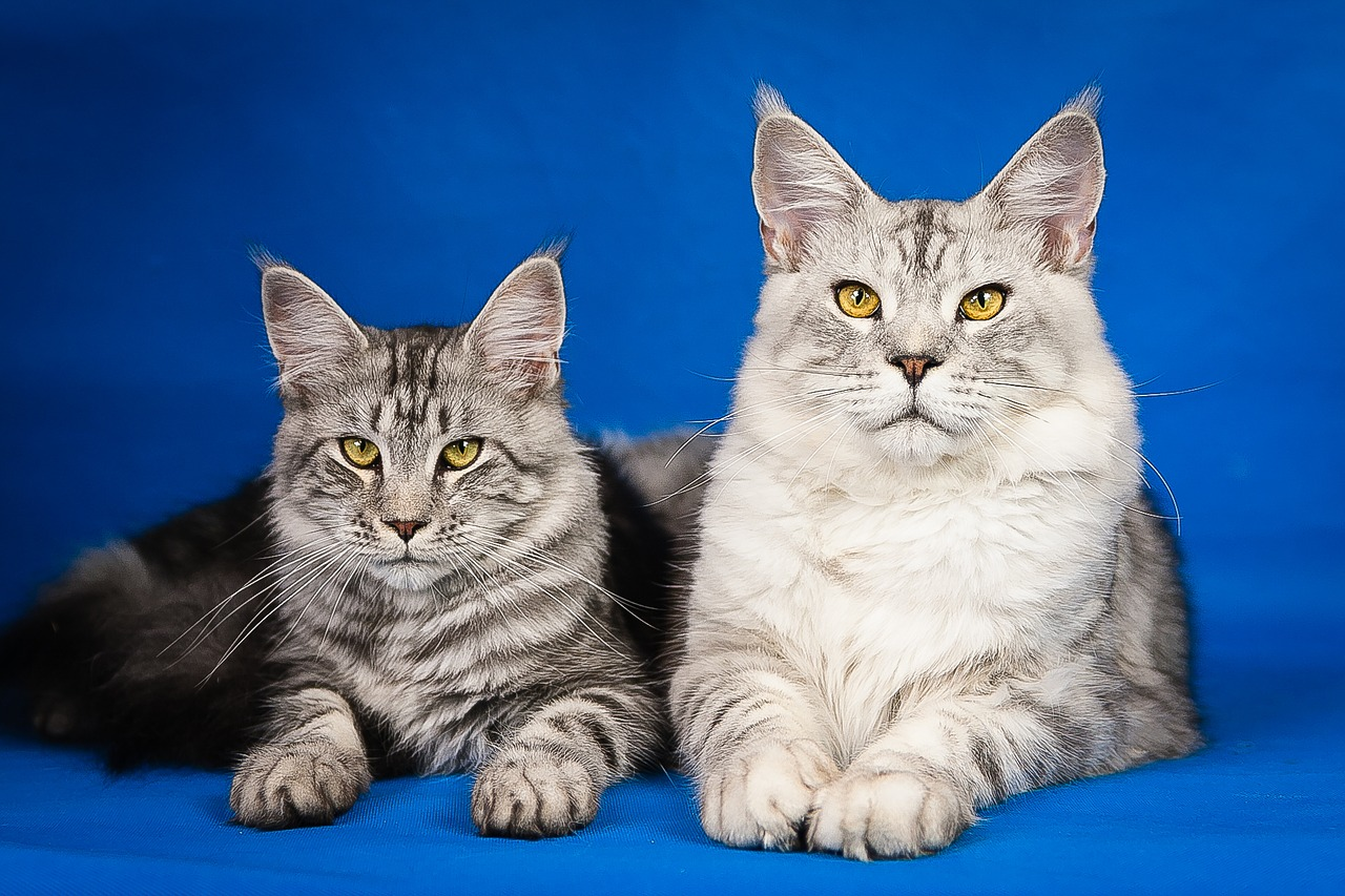 dos maine coon