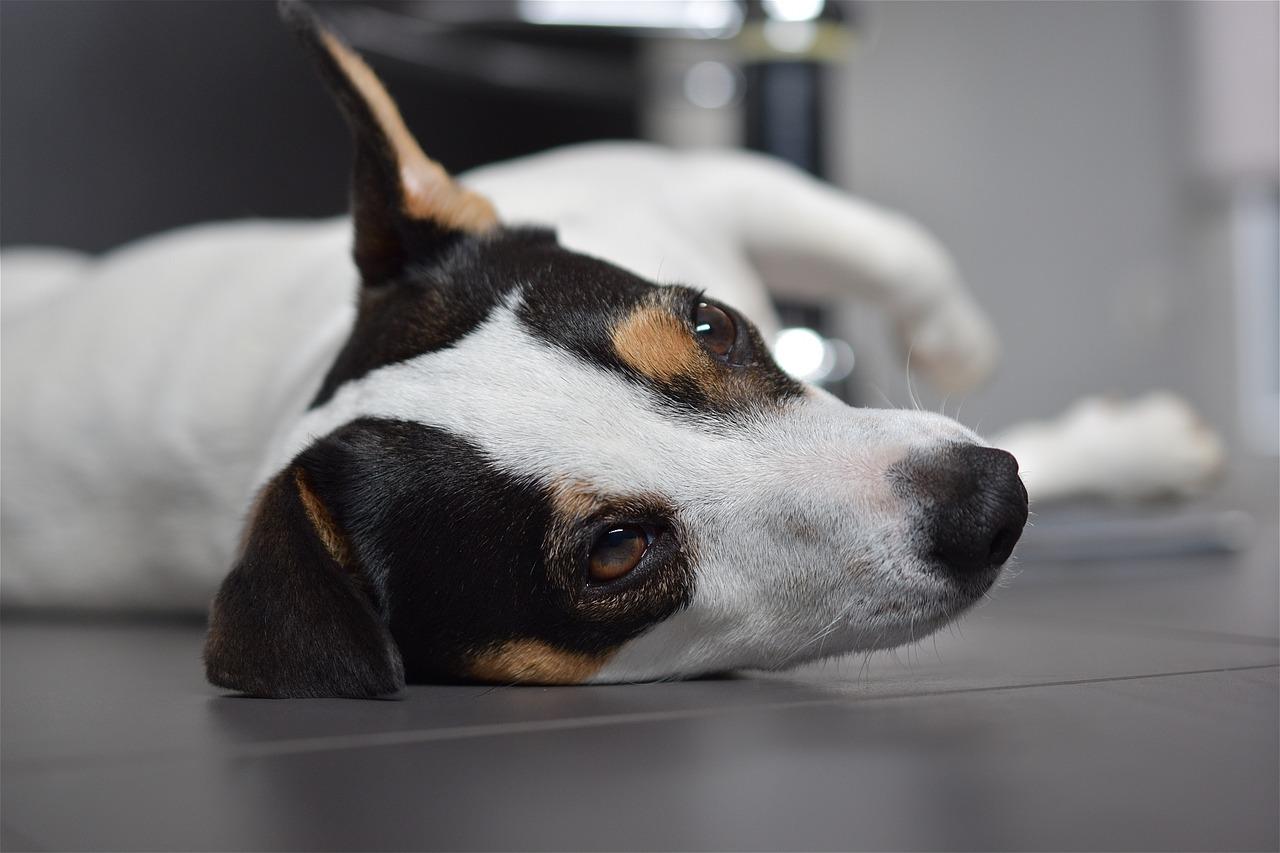 jack russel raza de perro