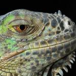 cabeza de iguana  clinica veterinaria