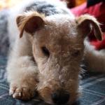 fox terrier clinica veterinaria oviedo