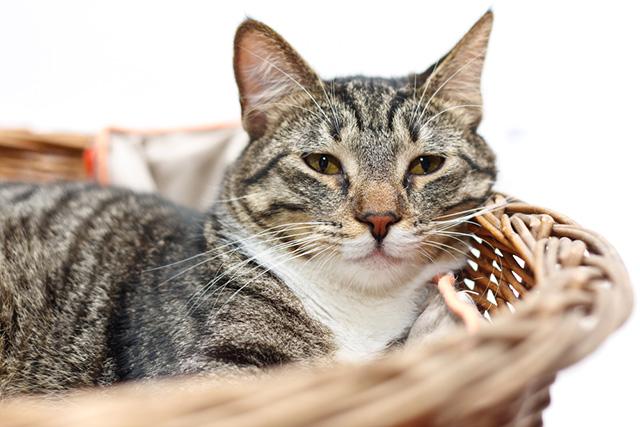 chequeo geriatrico en gatos