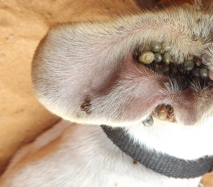 garrapatas en perros y tratamiento