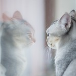 enfermedades de las orejas en gatos