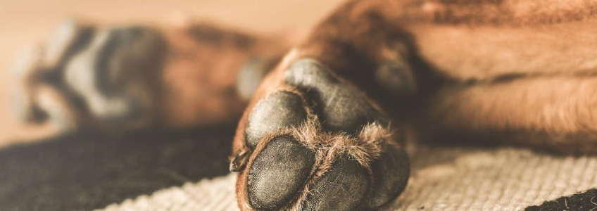 almohadillas del perro y el calor