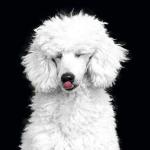 razas de perros caniche