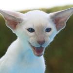 gato siamés blanco moderno