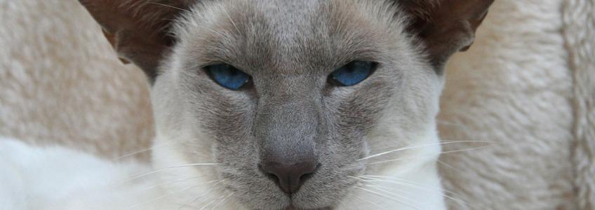 gatos siamés moderno con cabeza traiangular
