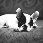 bulldog frances frenchie