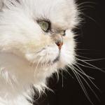 gato persa clinica veterinaria oviedo
