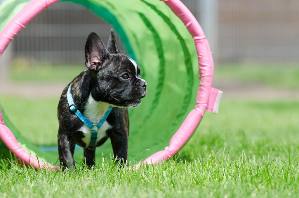 perro de raza bulldog frances