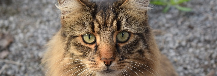cabeza gato bosque noruega