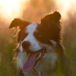 raza perro border collie