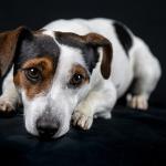 jack russel perro activo