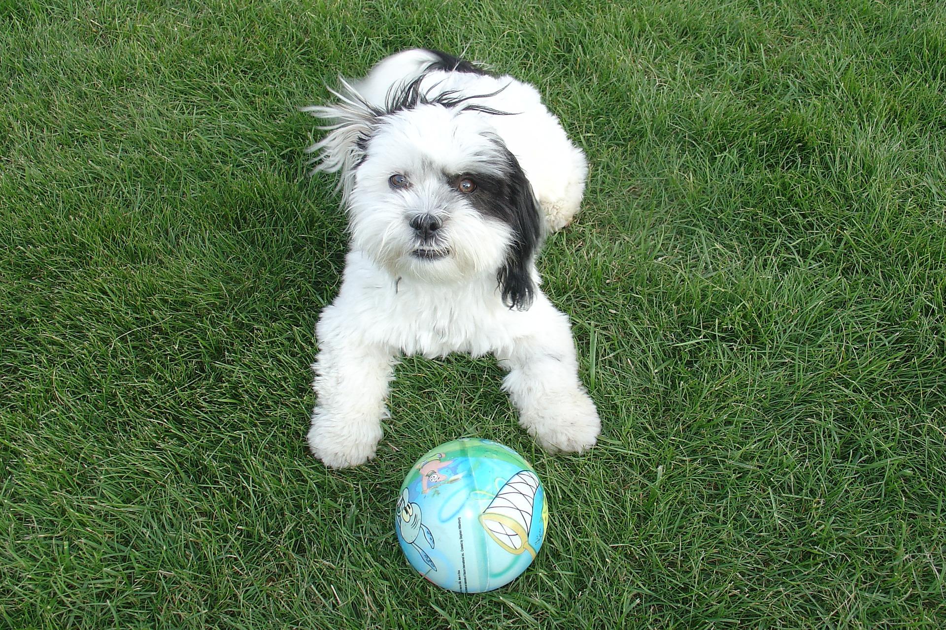 shih-tzu- raza perro